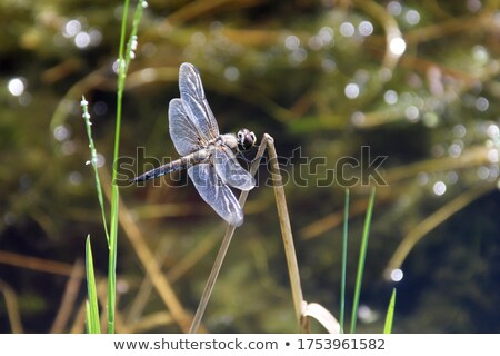 dragonfly on a blade of grass Stock photo © mady70
