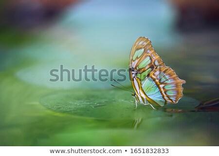 Malaquita borboleta folha olho natureza verão Foto stock © dacasdo