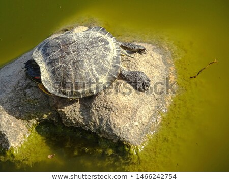 Amazon river turtle  on its natural habitat stock photo © pxhidalgo