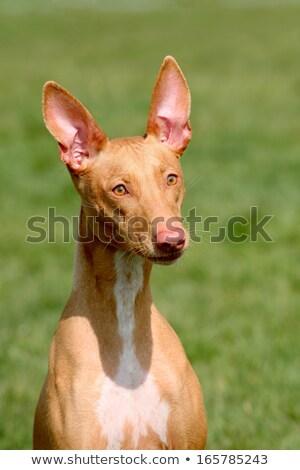 faraón · sabueso · cachorro · mirando · perro - foto stock © capturelight