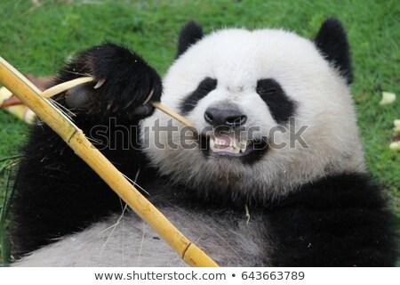 Foto stock: Panda · bambu · feliz · tenha · alimentação