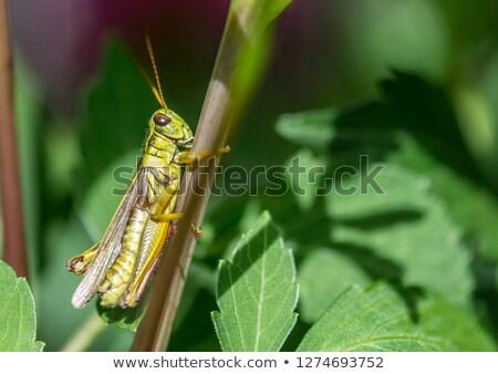 Green striped Grasshopper Stock photo © digoarpi