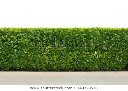 green decorative shrub plant Stock photo © stocker