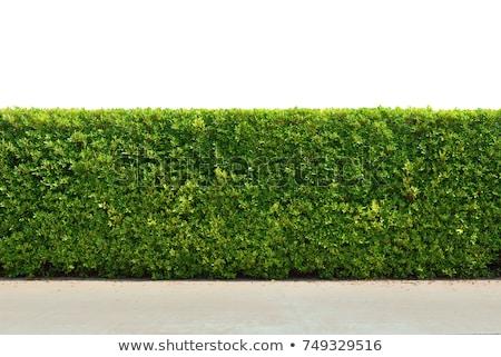 groene · decoratief · heester · plant · witte - stockfoto © stocker