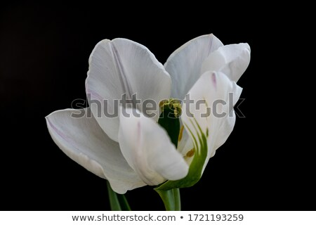 Colorful spring flowers (tulip, lat. Tulipa) Stock photo © fisfra