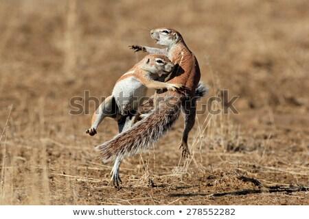 Desert squirrel stock photo © andromeda