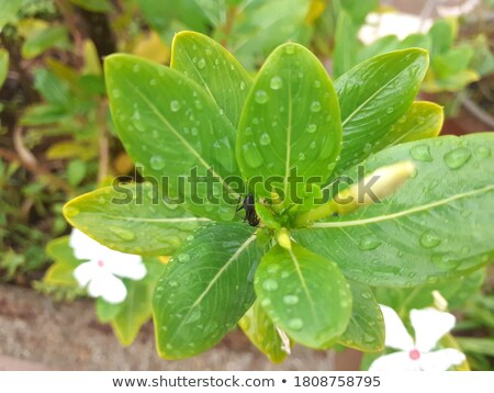 tropical green leafs after a rainfall with wet rain drops stock photo © cmcderm1