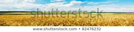 Wheat ears of the arable land. Stock photo © justinb