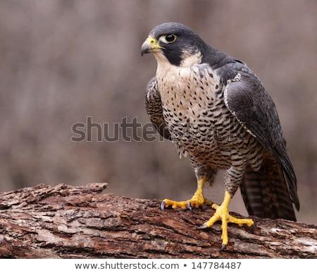 Peregrine Falcon (Falco peregrinus) Stock photo © dirkr