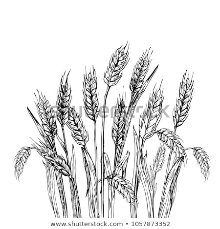 Wheat grains and ears as agricultural background Stock photo © stevanovicigor