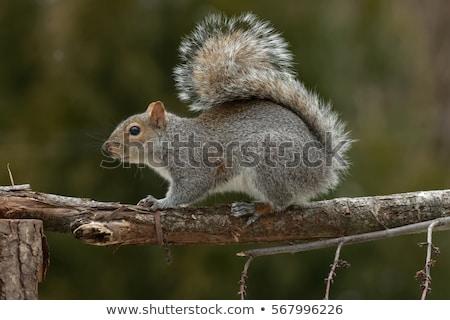 eastern grey squirrel stock photo © stephaniefrey