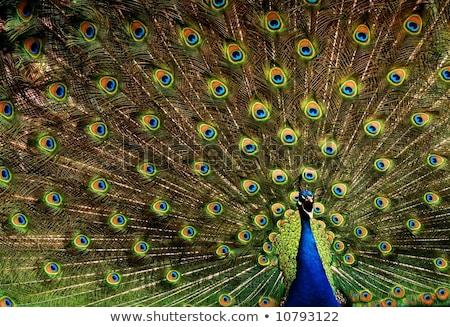 Páva mutat el fenséges farok szem Stock fotó © kasto