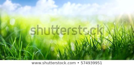 新鮮な · 緑の草 · クローズアップ · 屋外 · 花 · 春 - ストックフォト © sailorr