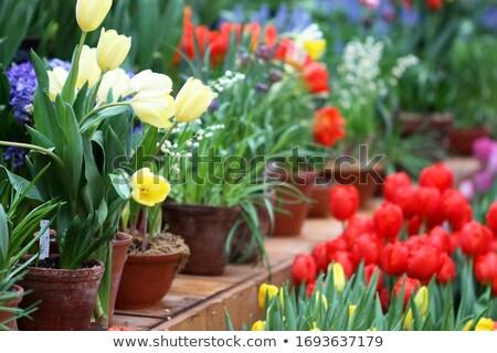 Photo stock: Marché · tulipes · fleur · printemps · rouge · panier