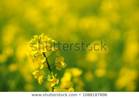 Foto d'archivio: Oilseed Rapeseed Flower Close Up In Cultivated Agricultural Field