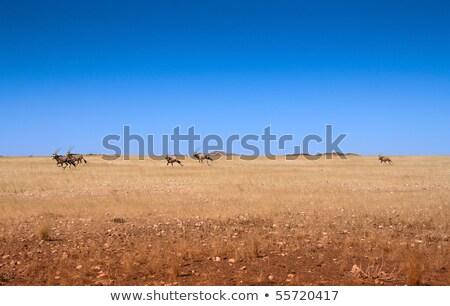 Group of Oryx gazelle in Kalahari Desert Stock photo © romitasromala