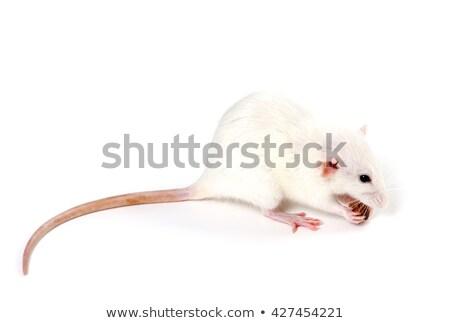 huisdier · rat · eten · cute · witte · genieten - stockfoto © bsani