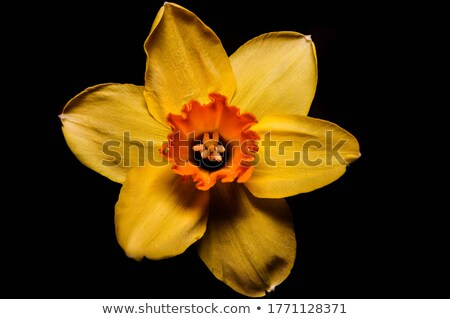 Daffodil Flower Closeup Stock photo © Suljo
