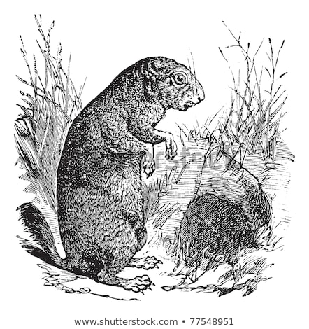 Black-tailed Prairie Dog or Cynomys ludovicianus, vintage engrav Stock photo © Morphart