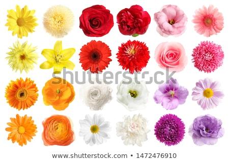 Photo stock: Rouge · fleur · isolé · blanche · beauté · été