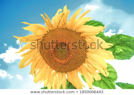 Beautiful sunflower head blooming in cultivated crop field Stock photo © stevanovicigor