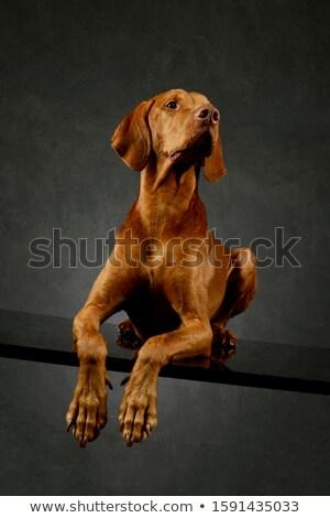 Węgierski ciemne zwierząt słuchać brązowy ssak Zdjęcia stock © vauvau
