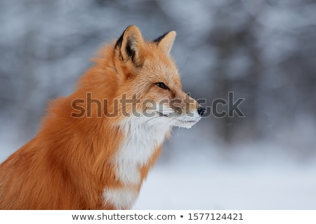 Fox with red fur standing Stock photo © bluering