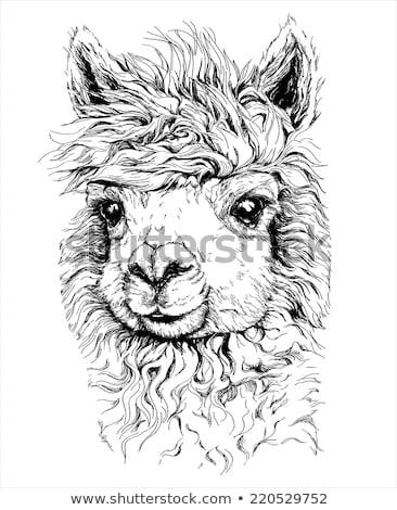 Lama Alpaca face isolated. Animal head. Vector illustration Stock photo © popaukropa