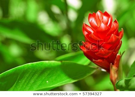 Tropical vermelho gengibre vibrante rosa flor tropical Foto stock © THP
