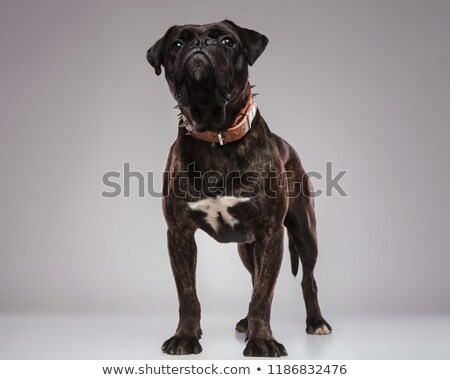 proud black boxer wearing a brown spiked collar standing Stock photo © feedough