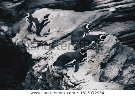 Csoport tengerpart család madár csapat pingvin Stock fotó © matimix
