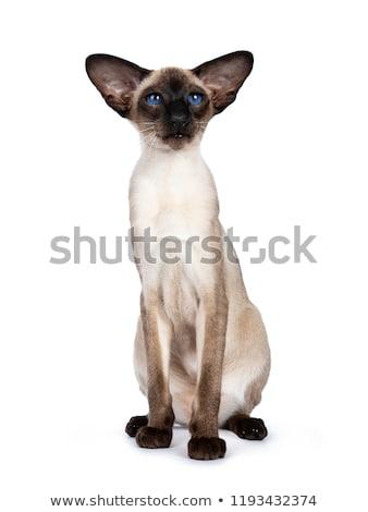 Excellent seal point Siamese cat kitten, isolated on white background  Stock photo © CatchyImages