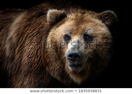 A grizzly bear in forest Stock photo © bluering