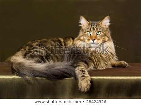 Brown tabby adult Maine Coon cat  Stock photo © CatchyImages