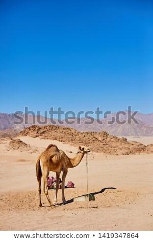 Bir deve kalmak çöl arazi mavi gökyüzü Stok fotoğraf © Illia