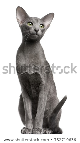 oriental shorthair kitten on white stock photo © catchyimages