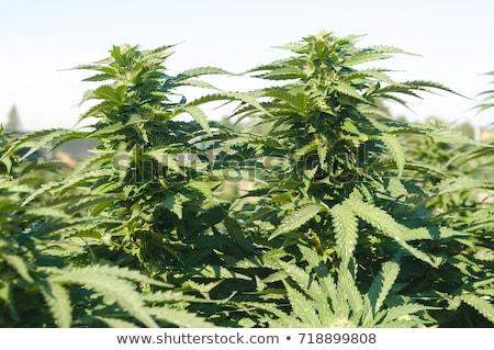 Medische hennep gewas klaar oogst juridische Stockfoto © Gelpi