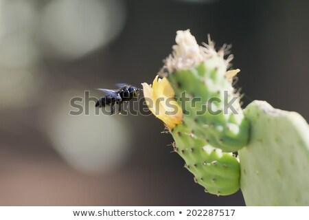 Bee · цветок · кактус · макроса · пчелиного · меда · оранжевый - Сток-фото © Musat