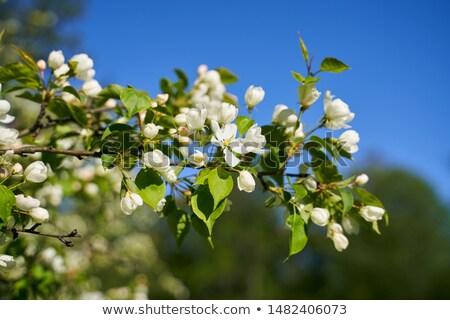 manzana · rama · hermosa · hojas · verdes · marco - foto stock © nurrka