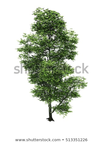 Beech tree Stock photo © igabriela