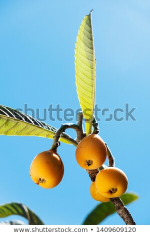 loquats hanging on a branch stock photo © inaquim