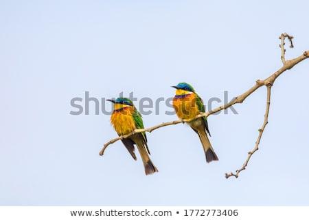 Blue Breasted Bee Eater Merops Variegatus Zdjęcia stock © Artush