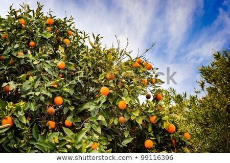 Florida narancsfa narancs növekvő fa tavasz Stock fotó © lisafx