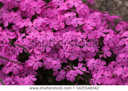 Phlox in full frame Stock photo © Gbuglok