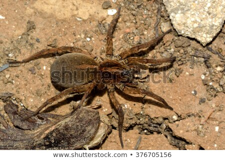 Wolf Spider From Above Stock photo © saje