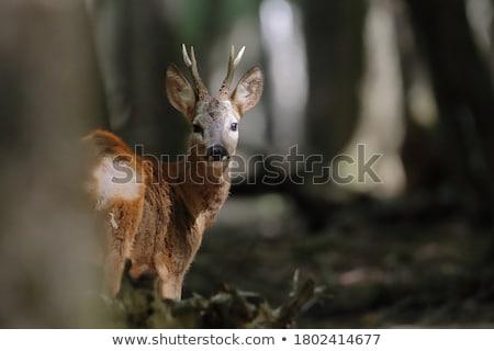 Ikra szarvas közelkép fotó fej természet Stock fotó © czbalazs
