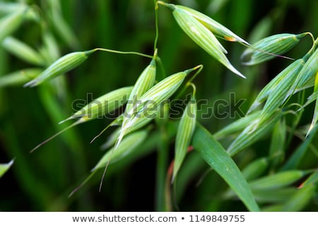 green oat Stock photo © Dar1930