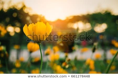 Yeşil alan sarı çiçekler güzel görmek Toskana Stok fotoğraf © ajn