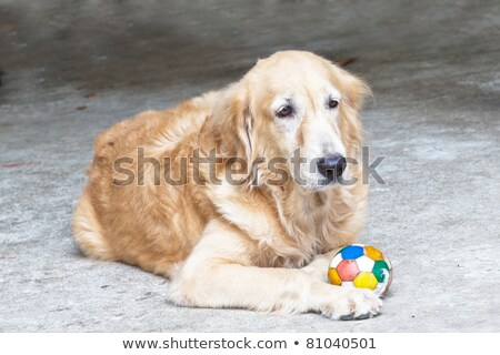 Dog, Golden Retriever and soccer ball,  looking with sad brown e Stock photo © FrameAngel