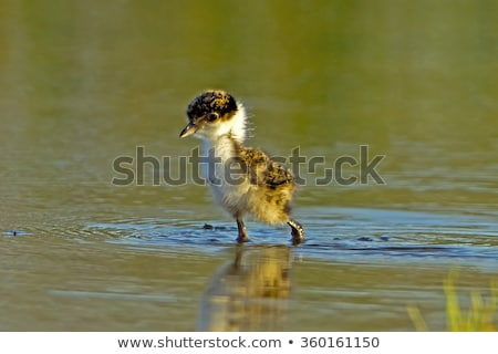 Masked Lapwing (Vanellus miles) Stock photo © dirkr